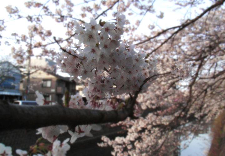 Oookagawa090403_sakura02